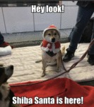 Hey Look! Shiba Santa Is Here!