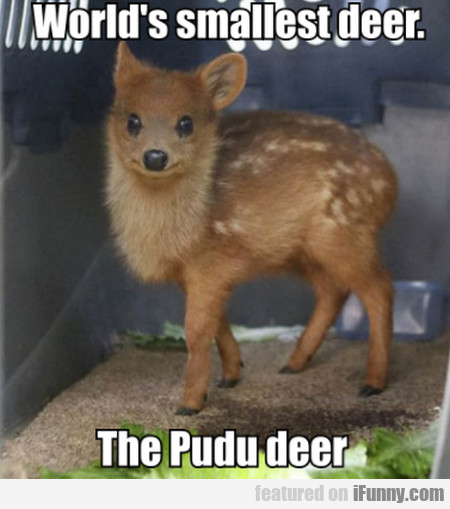 World's smallest deer. The Pudu deer