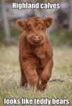 Highland Calves Looks Like Teddy Bears