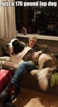 Just A 170 Pound Lap Dog...