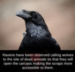 Ravens Have Been Observed Calling Wolves To...