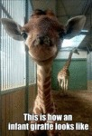 This Is How An Infant Giraffe Looks Like