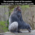 The Scientific Name Of The Western Lowland...