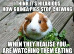 I Think It's Hilarious How Guinea Pigs Stop...