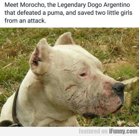 Meet Morocho, The Legendary Dogo Argentino That...