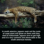 In South America, Jaguars Seek Out The Roots...