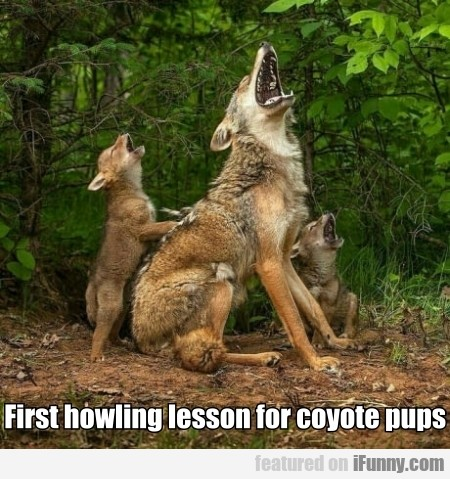 First Howling Lesson For Coyote Pups