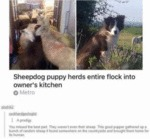 Sheepdog Puppy Herd Entire Flock Into Owner's...