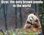 Qizai, The Only Brown Panda In The World...