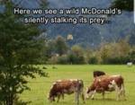 Here We See A Wild Mcdonald's Silently Stalking...