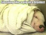 Sleeping Like A Pig In A Blanket