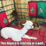 This Alpaca Is Starring At A Wall