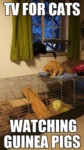Tv For Cats - Watching Guinea Pigs...