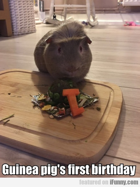 Guinea Pig's First Birthday