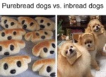Purebread Dogs Vs Inbread Dogs
