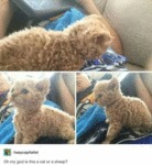 Oh My God Is This A Cat Or A Sheep...