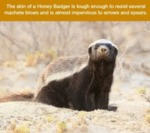 The Skin Of A Honey Badger Is Tough Enough To...