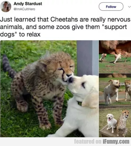 Just Learned That Cheetahs Are Really Nervous...