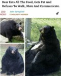 Bear Eats All The Food, Gets Fat And Refuses To...