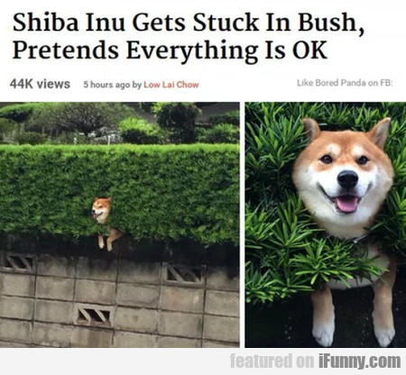 Shiba Inu Gets Stuck In Bush, Pretends...