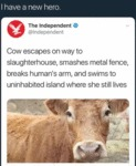 Cow Escapes On Way To Slaughterhouse, Smashes...