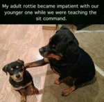 My Adult Rottie Became Impatient With Our...