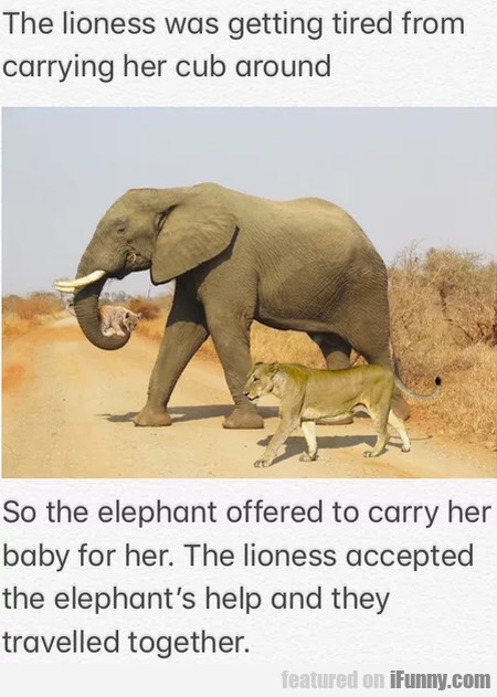 The lioness was getting tired from carrying her...