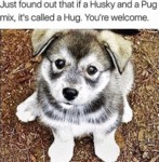 Just Found Out That If A Husky And A Pug Mix...