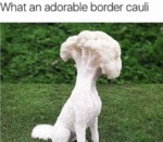 What An Adorable Border Cauli...