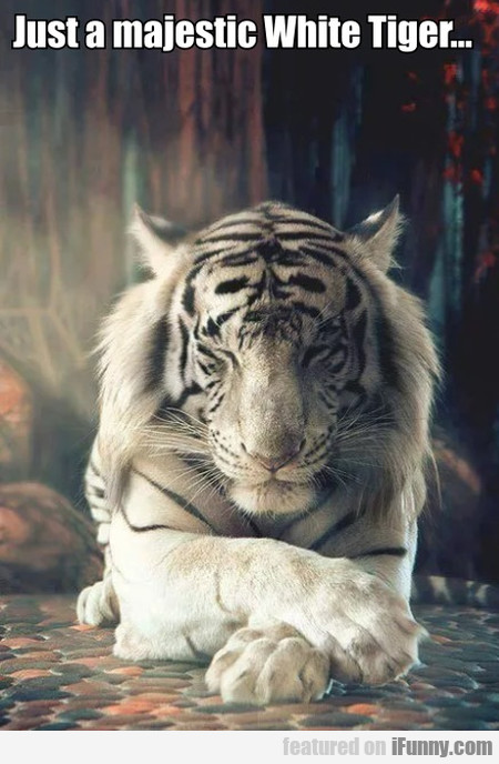 Just A Majestic White Tiger