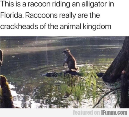This Is A Racoon Riding An Alligator In Florida