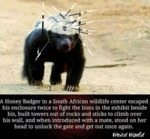 A Honey Badger In A South African Wildlife...