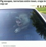 Pig Escapes, Terrorizes Entire Town..