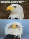 Ever Wonder Why The American Bald Eagle Is Always