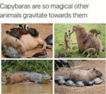 Capybaras Are So Magical Other Animals Gravitate..
