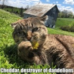 Cheddar, Destroyer Of Dandelions