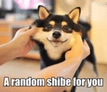 A Random Shibe For You...
