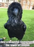 Just A Beautiful Raven From The Tower Of London