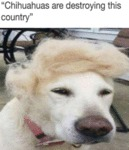 Chihuahua's Are Destroying This Country