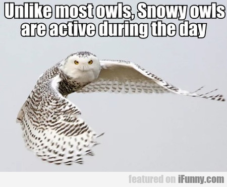Unlike Most Owls, Snowy Owls Are Active...