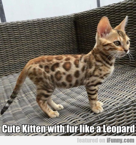 Cute Kitten With Fur Like A Leopard