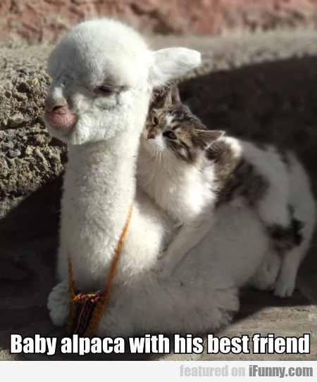 Baby Alpaca With His Best Friend