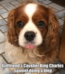 Girlfriend's Cavalier King Charles Spaniel Doing..