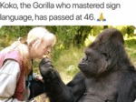 Koko, The Gorilla Who Mastered Sign Language...