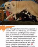 Daisy The Dog Lost All Seven Of Her Puppies In A..