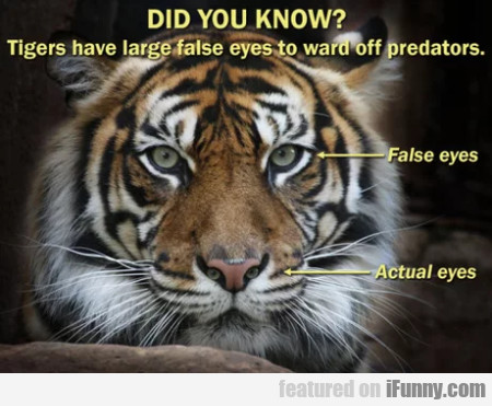 Did you know - Tigers have large false eyes to...