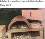I Did Not Know Hamsters Deflated When They Slept..