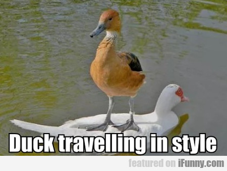 Duck travelling in style