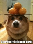 A Perfectly Balanced Corgi