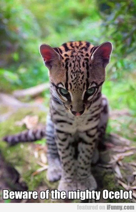 Beware Of The Mighty Ocelot